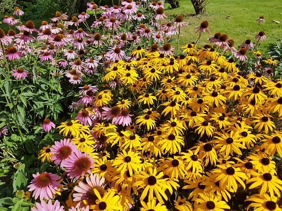 Třapatky kvetou dlouho a mají spoustu květů.