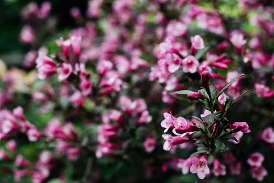 Květy weigelie vynikají na pozadí tmavších listů tohoto kultivaru