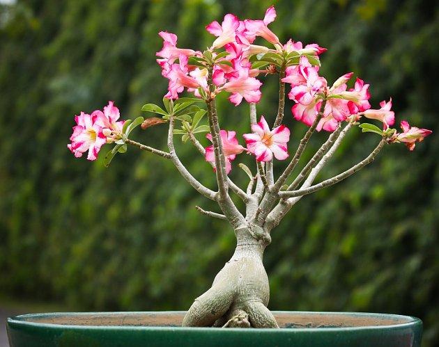 Ve ztlustlém kmínku si pouštní růže uchovává zásoby vody a živin.