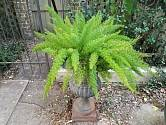 Chřest hustokvětý (Asparagus densiflorus).