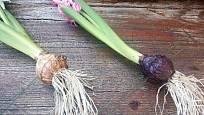 Cibule hyacintů propíchneme drátem a připevníme k základně.
