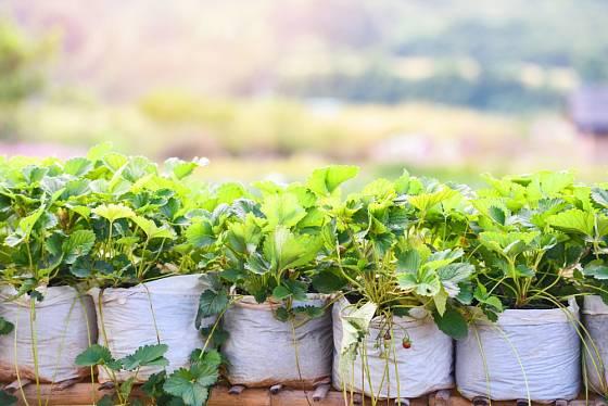 Igelitové pytle podložené a usazené na vyvýšeném místě zajistí bohatou úrodu krásných a neplesnivějících jahod.