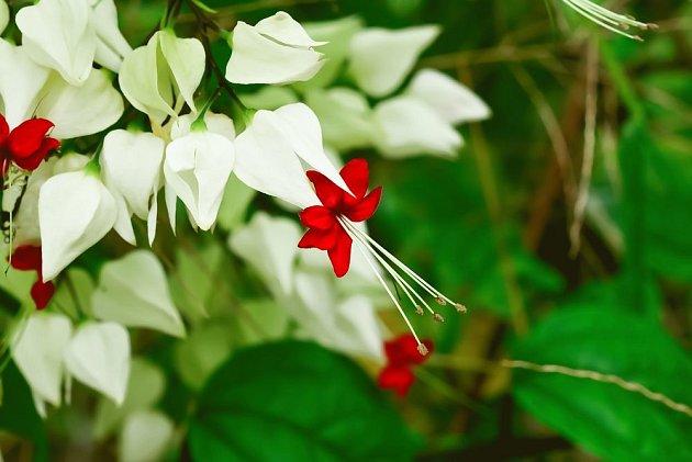 klerodendron čili blahokeř výjimečně krásně kvete