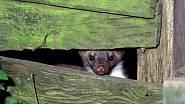Kuna se díky své štíhlosti protáhne i velmi úzkou škvírou.