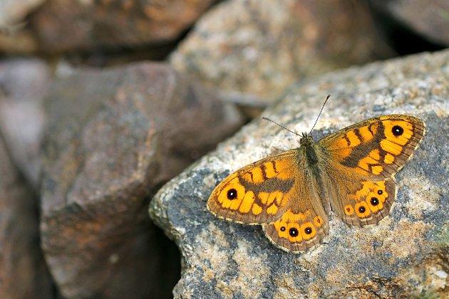 Vzácný okáč zední se rád vyhřívá na kamení