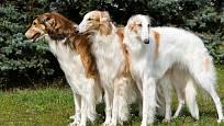Aristokrati mezi psy, to jsou barzojové - ruští osrstění chrti.