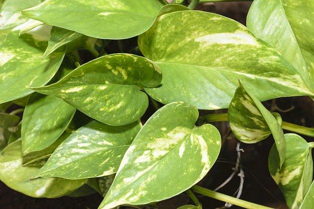 Šplhavnice zlatá (Epipremnum aureum) nechybí skoro v žádné domácnosti.