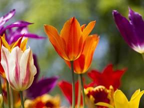 Cibuloviny vás na jaře potěší svými půvabnými květy.