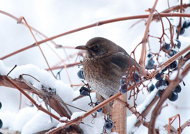 Sladké bobule chutnají i ptákům
