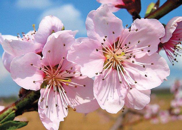 Růžovitý květ broskvoně