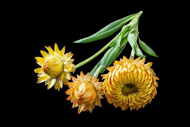 Květ slaměnek - smilů patří k těm nejznámějším.