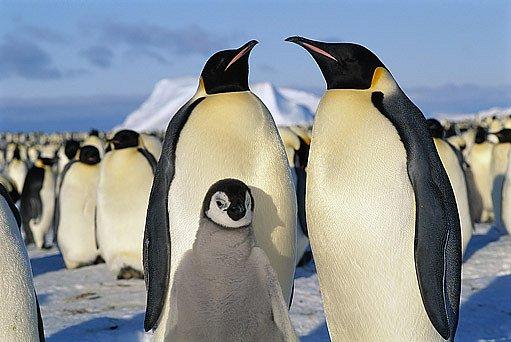 Pár tučňáků vychovává v tvrdých podmínkách jedno mláďě