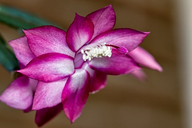 Vánoční kaktus postupně rozkvétá nádhernými květy.