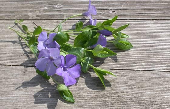 Barvínek řečí květomluvy: stále se jen krášlíš, ale naše láska uvadá.