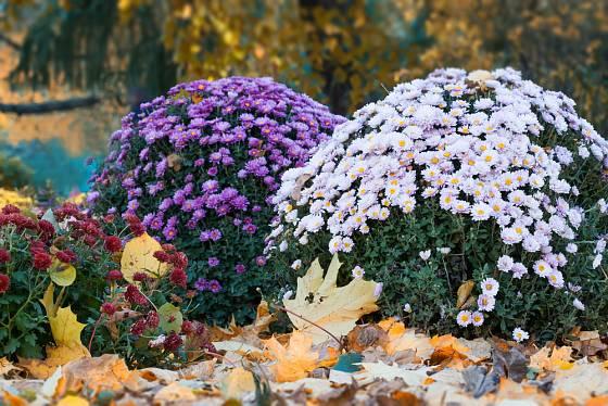 Chryzantémy vykouzlí barevná podzimní aranžmá