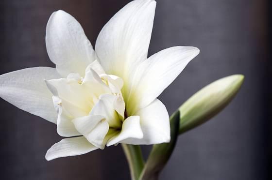 Hvězdník může nést i bílé, plné květy