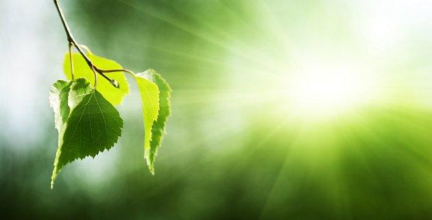 Tenké listy efektivně zachycují maximum slunečního záření