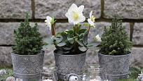 Čemeřice černá (Helleborus niger) se s oblibou využívá jako součást adventní výzdoby.