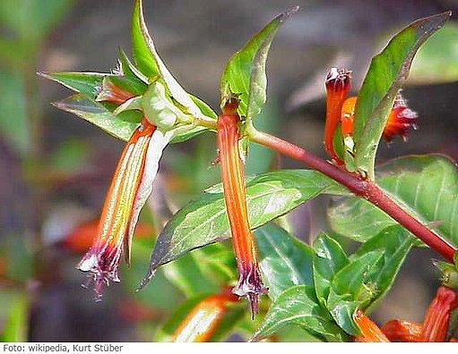 hlazenec ohnivý alias mexické cigáro (Cuphea ignea)