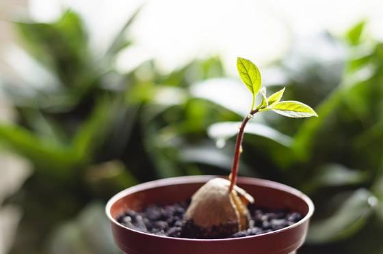 Mladá rostlinka avokáda vyžaduje dostatek světla