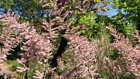 Kvetoucí větve tamaryšku.