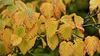 Podzimní zbarvení listů lískovníčku chudokvětého (Corylopsis pauciflora).