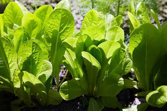 Mmladé listy salátu lze sklízet i měsíc po vysetí