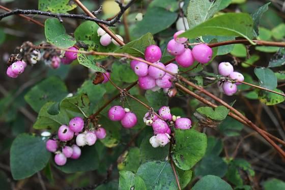 Méně často se pěstuje pámelník červenoplodý (Symphoricarpos orbiculatus).
