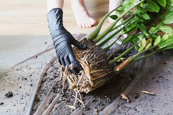 Rozdělit trs zamiokulkasu z prorostlého květináče musíme opatrně