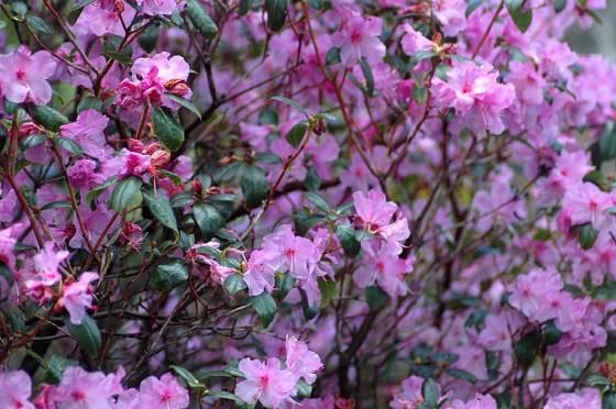 Časně kvetoucí azalka Rhododendron praecox