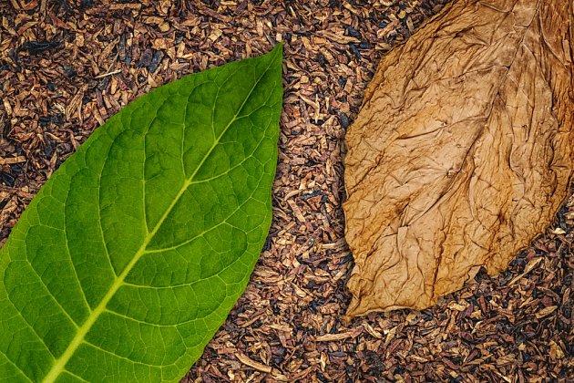 Nikotin je obsažen především v listech tabáku.