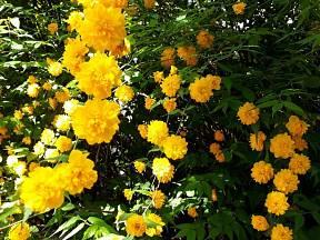 zákula japonská (Kerria japonica) Pleniflora