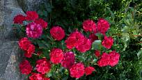 Mnohokvětá růže Rotilia