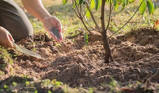 Hnojivo aplikujeme především pod obvodem koruny stromku