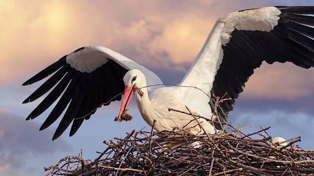 Čáp bílý (Ciconia ciconia) na hnízdě