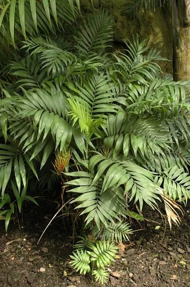 Palma Chamaedorea elegans