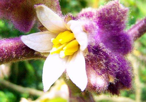 květ narančily
