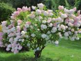 Rodina hortenzií má mnoho zajímavých a krásných členů