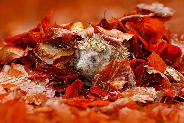 Ježci hledají úkryt v listí