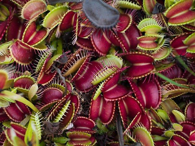 Mucholapka podivná (Dionaea muscipula).