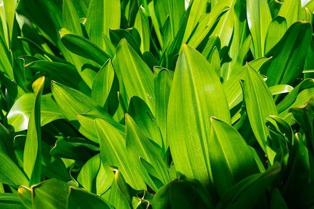 Ocún jesenní je jedovatý. Na podzim vyrážejí pouze květy, naopak na jaře vyrůstají listy.