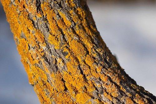 Nejdříve tyto parazitické organismy vegetují jenom na povrchu borky, ale později narušují kůru hlouběji a do pletiv rostlin se mohou dostávat výtrusy různých hub a bakterií, které už dřevinám škodí.