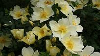 růže hugova, Rosa Hugonis