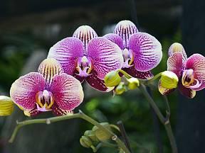 Kořeny orchidejí potřebují světlo a vzduch.