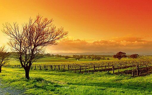 vinice při východu slunce