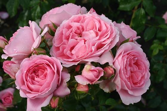 Růže odrůdy Rosenfee