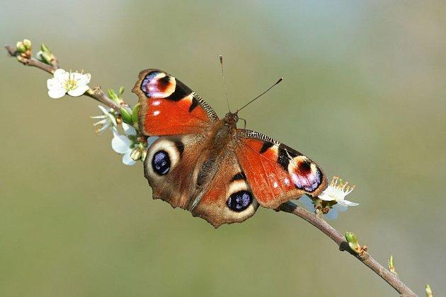 Zářivé oči babočky pavího oka mají zmást lovce