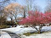 Meruňka japonská (Prunus mume 'Benishidori') rozkvétá již koncem zimy. Foto 18. 2. 2016