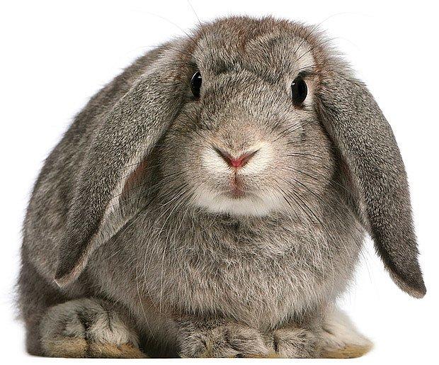mladý králík plemene francouzský beran, přírodní zbarvení