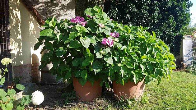 Hortenzie čtenářky pěstované v nádobách